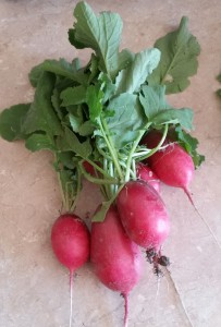 Oslicken Acre Radishes